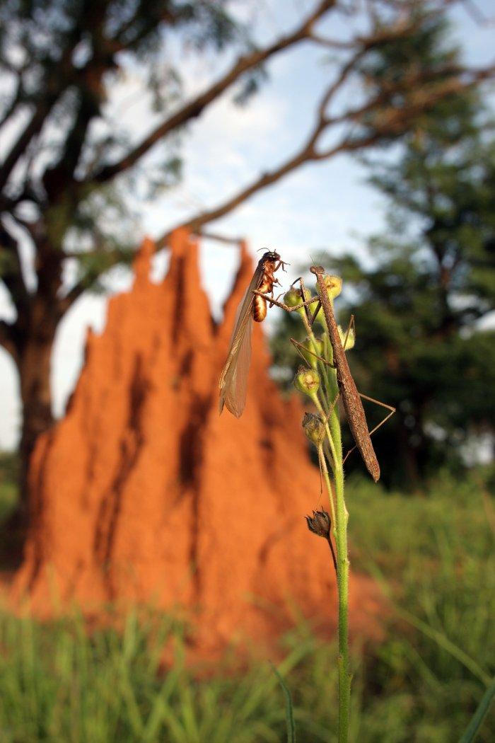 Eine Gottesanbeterin macht sich über die Libelle her
