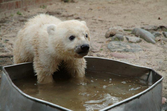Eisbären sind Wasserfreunde