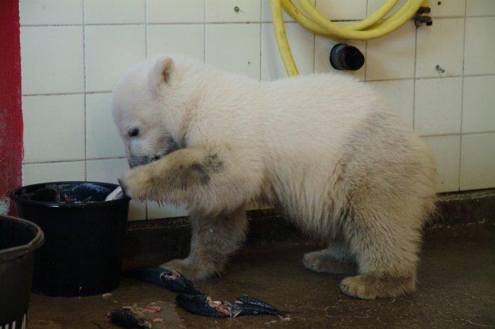 Knut hat Neugier und Hunger