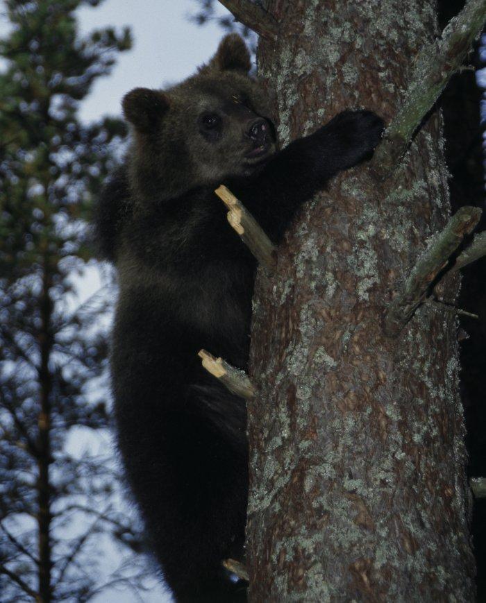 Braunbären sind echte Klettermaxe