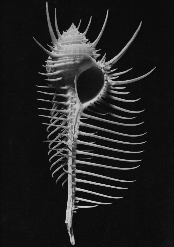 Das Skelett einer Muschel