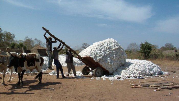 Baumwollernte in Burkina Faso